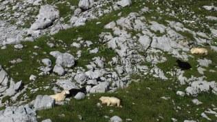 Bergschafe, die mühelos klettern können. Erstaunlicherweise sind sie gechippt. Und es sind schwarze Schafe dabei...